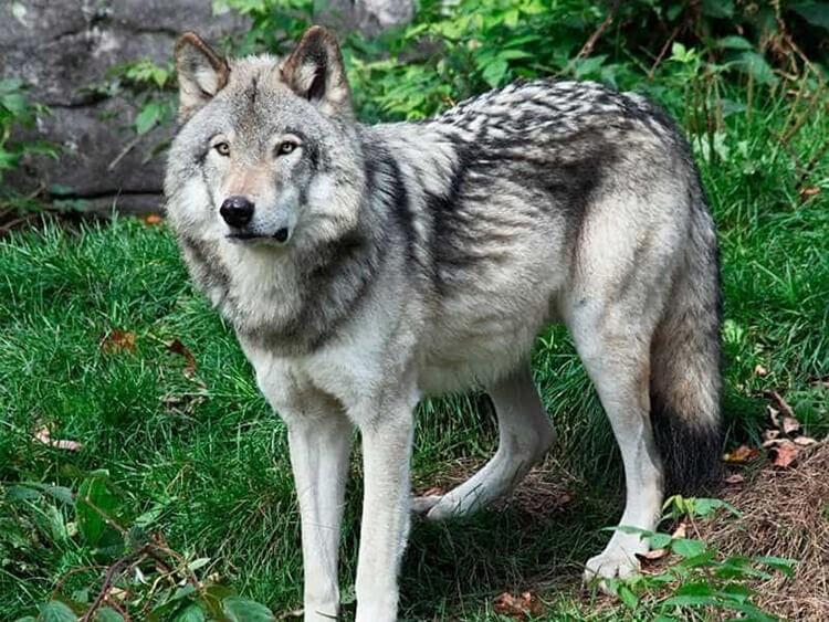 Chó Becgie lai với chó sói