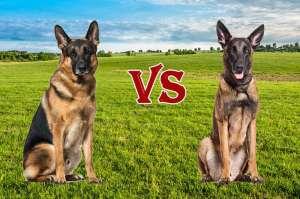 Cách nhận biết chó Becgie lai với Becgie thuần chủng