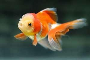 Cách nuôi cá ba đuôi không cần oxy cực kỳ đơn giản