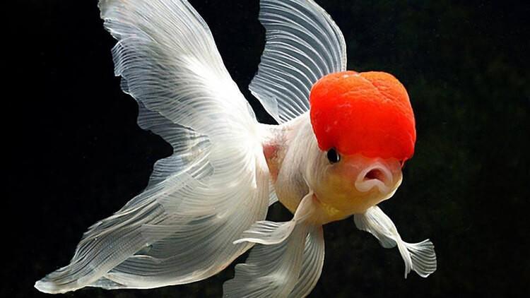 Kỹ thuật nuôi cá 3 đuôi không cần oxy