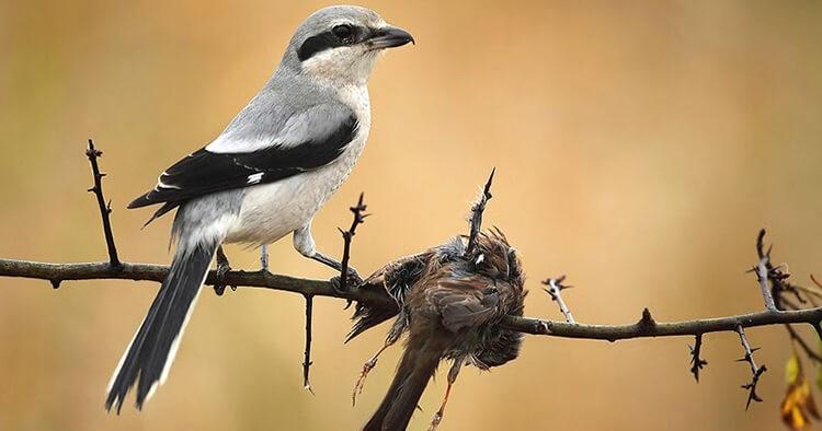Chim chàng làng là gì