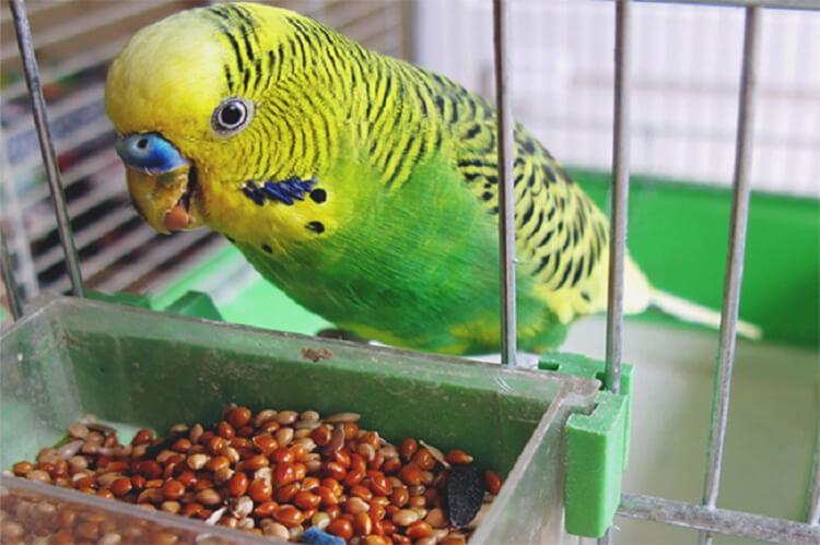 Không nên cho vẹt ăn gì?
