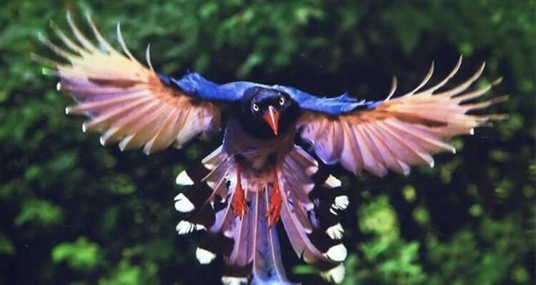 Chim giẻ cùi tốt mã dài đuôi