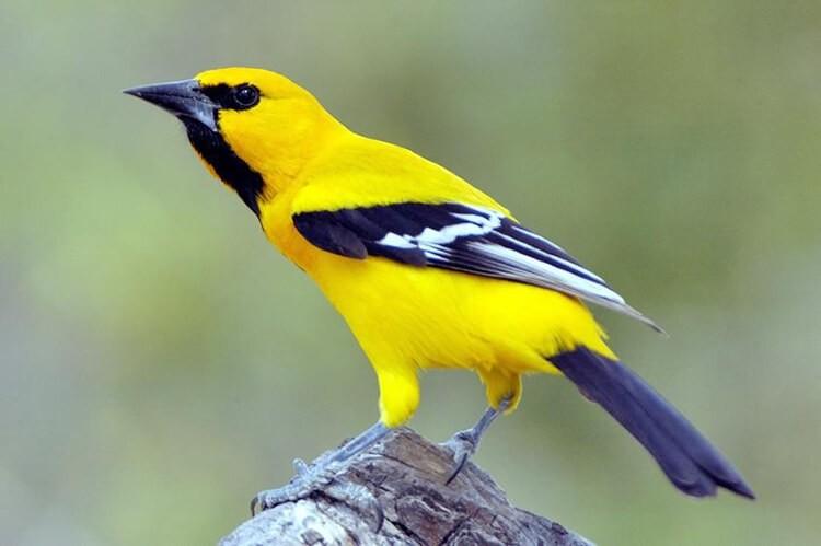 Chim Hoàng Anh (vàng anh) có màu sắc đặc trưng