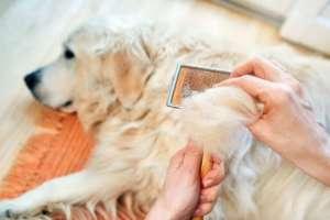 Cách trị chó bị rụng lông và ngứa gãi liên tục ở mõm, quanh mắt