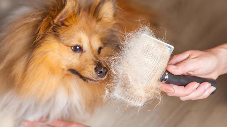 Nguyên nhân chó rụng lông