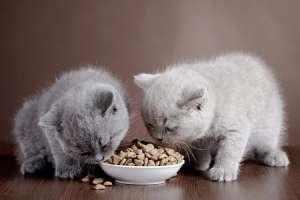 Nên cho mèo con ăn gì để mập? Mèo con bao lâu thì ăn được cơm