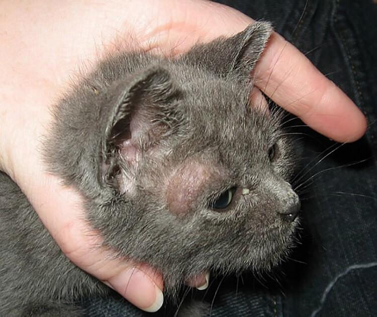 Nguyên nhân nấm ở mèo