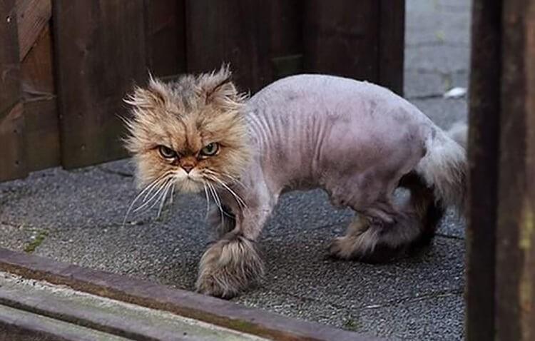 Mèo bị rung lông
