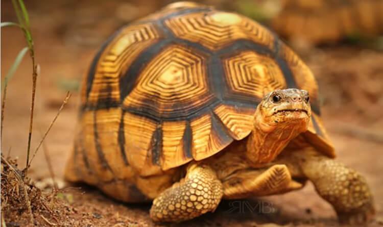 Rùa có mai màu vàng, vẻ ngoài bắt mắt