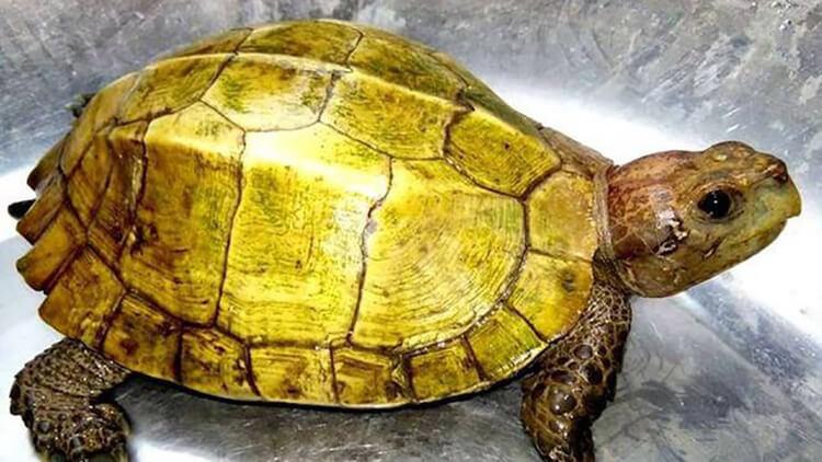 Rùa vàng đem đến sực tài lộc, may mắn