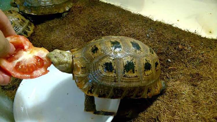 Rùa vàng ăn cà chua