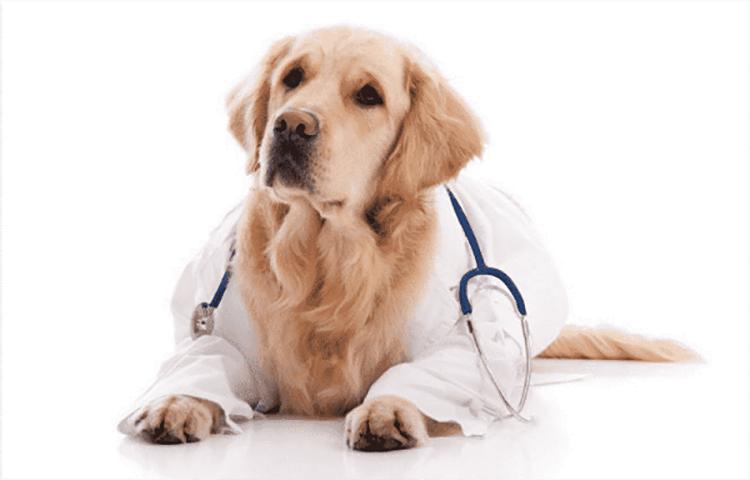 Lợi ích triệt sản chó cái là gì?