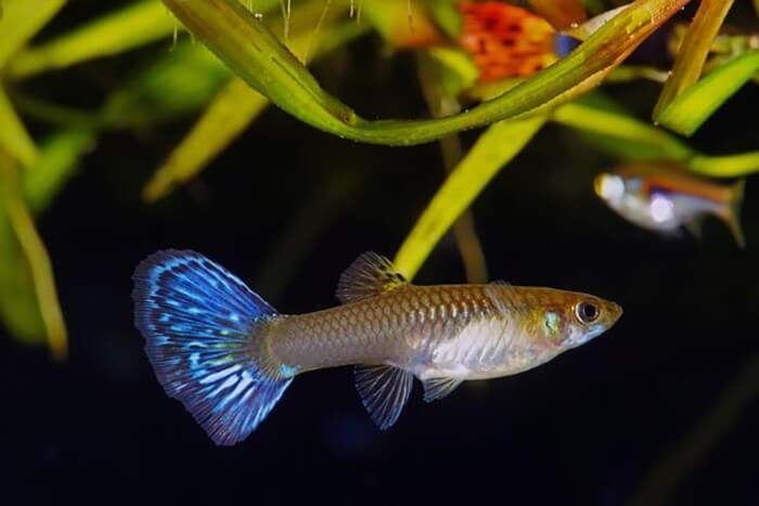 Hình ảnh cá 7 màu