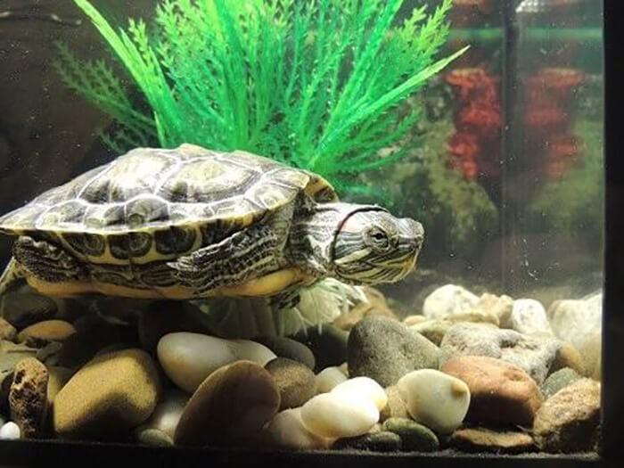 Bể nuôi rùa nước ngọt
