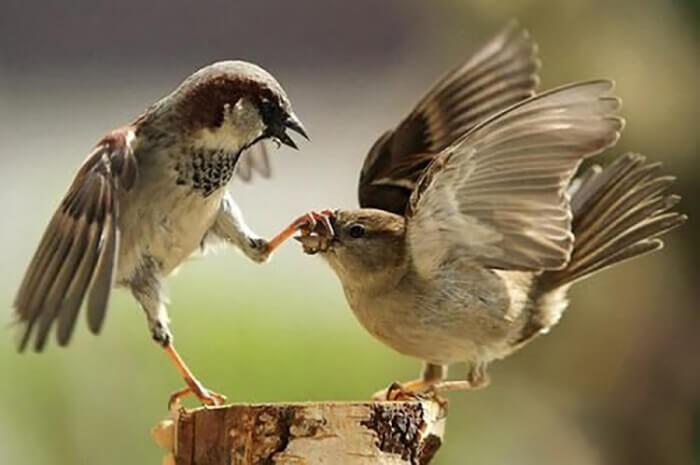 Đặc điểm của chim sẻ