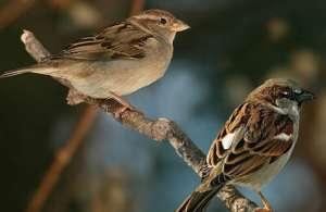Đặc điểm của chim sẻ thường sống ở đâu? Cách nuôi chim sẻ
