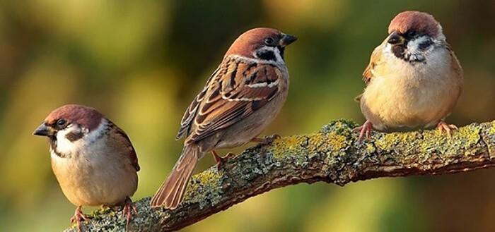 Chim sẻ sinh sản vào tháng máy