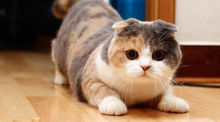 Mèo tam thể có ba màu nông đẹp mắt