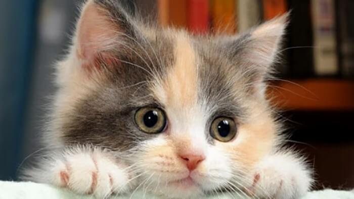 Mèo tam thể vào nhà là điềm gì