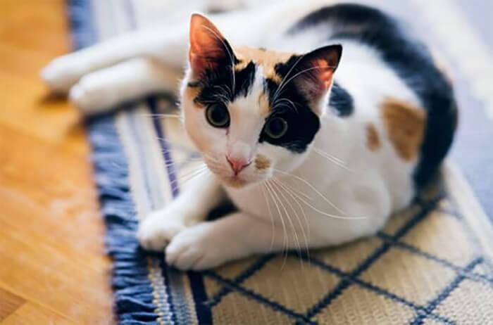 Mèo tam thể vào nhà đánh con gì