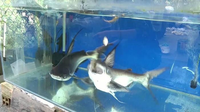 Giá cá mập cảnh tại Việt Nam