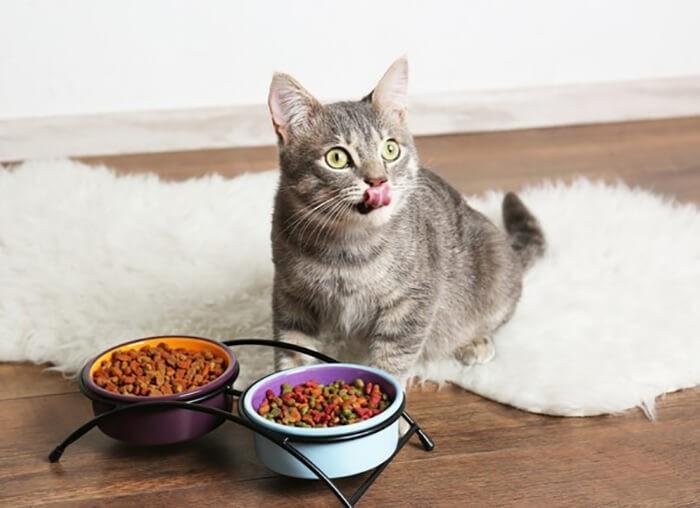 Mèo biếng ăn nôn phải làm thế nào?