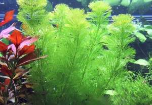 Các loại cây thủy sinh không cần CO2, đất nền vẫn sống khoẻ