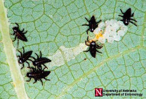 Ấu trùng bọ rùa mới nở