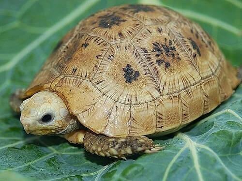 bệnh thường gặp ở rùa vàng