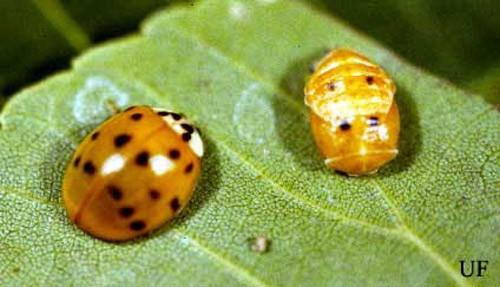 Con trưởng thành và nhộng của bọ cánh cam