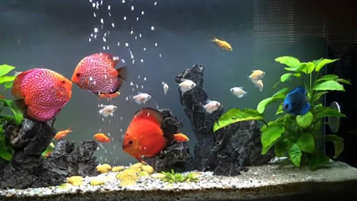 Làm sao để hồ nuôi cá cảnh nước trong veo