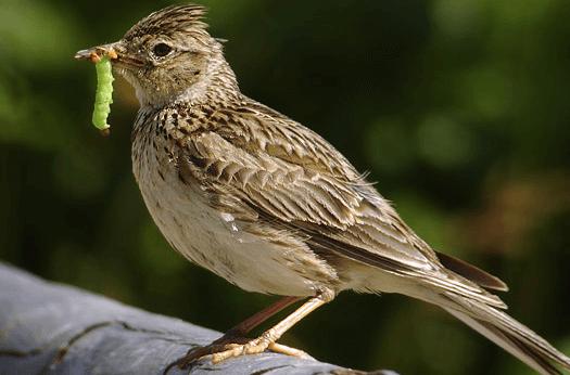 Thức ăn chim sơn ca