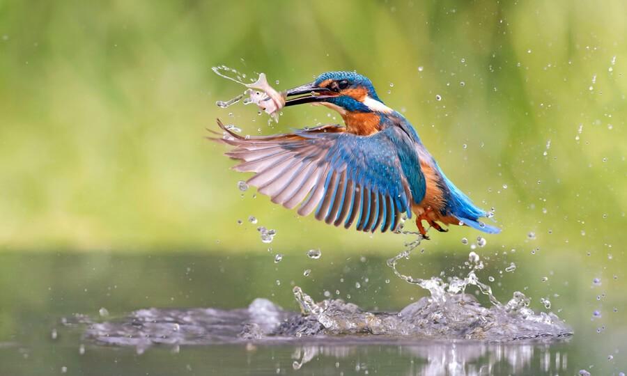 Hình ảnh chim bói cá dưới nước thuộc họ bói cá