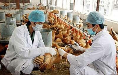 Bệnh cúm gia cầm (Avian influenza) phòng trị sao cho hiệu quả?