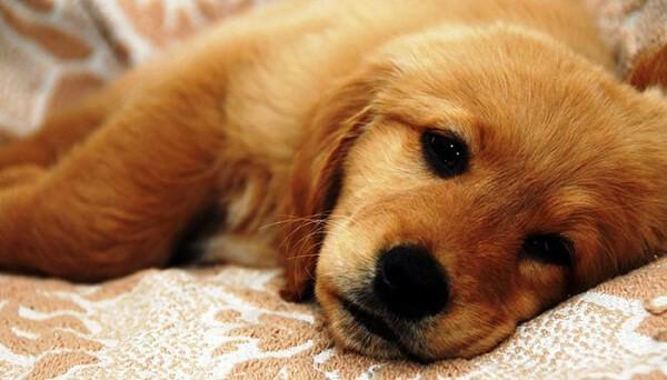 Hình ảnh chó mệt mỏi đau đẻ