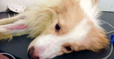 Nhận biết bệnh Parvo ở chó (Canine parvoviral infection disease)