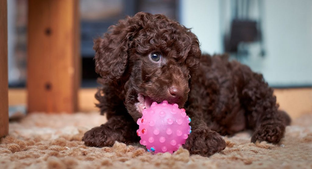 Bỏ đồ chơi vào chuồng nhốt chó