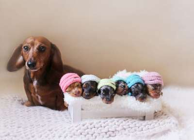 Cách chăm sóc chó con mới sinh, sinh non, bị mất mẹ hiệu quả