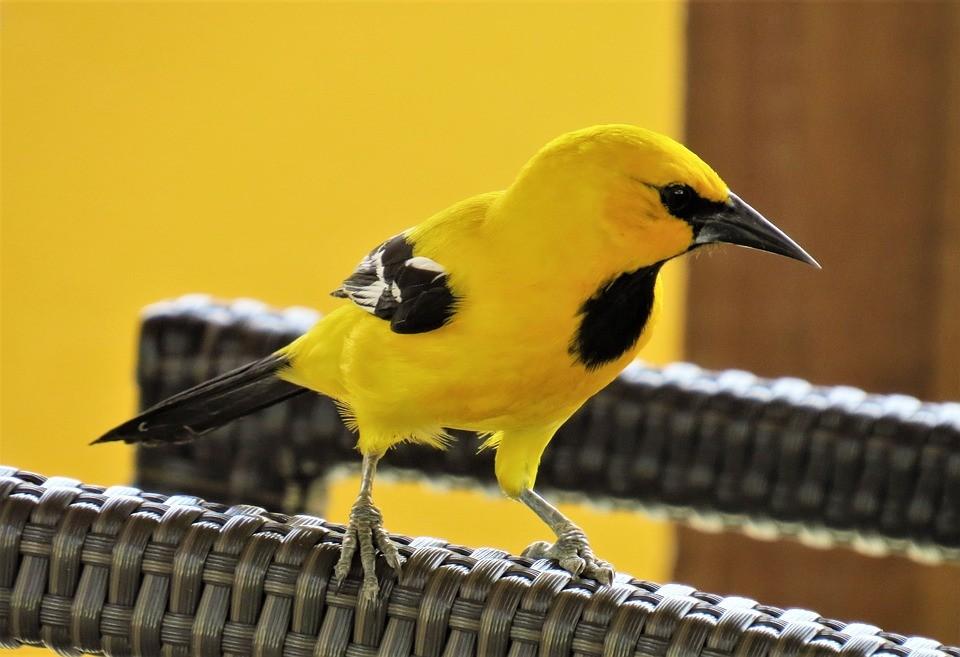 Vì tính nhút nhát nên người nuôi cần kiên trì khi rèn chim vàng anh hót