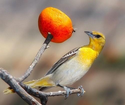 Chim vàng anh thường ăn các loại trái cây
