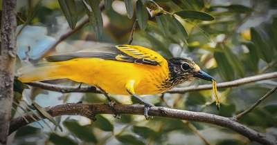 Chim vàng anh ăn gì để có giọng hót hay?