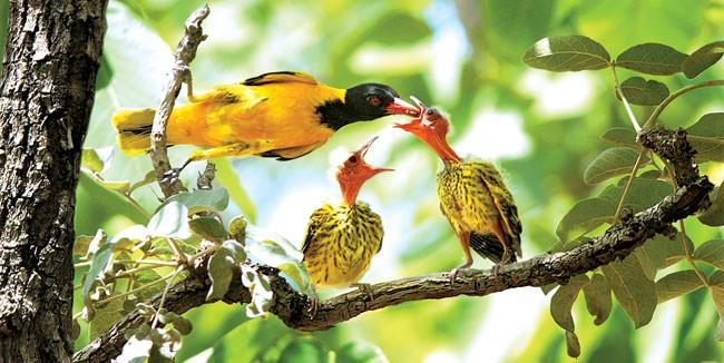 Chim vành anh mẹ cho chim non ăn