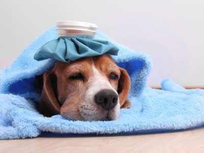 Chó bị sổ mũi, nghẹt mũi thở khò khè phải làm sao?