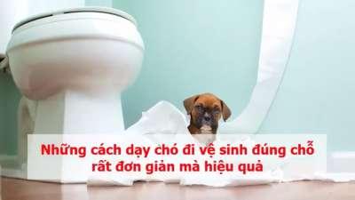 Cách dạy chó đi vệ sinh vào bồn cầu, đúng chỗ theo chuẩn 6 bước