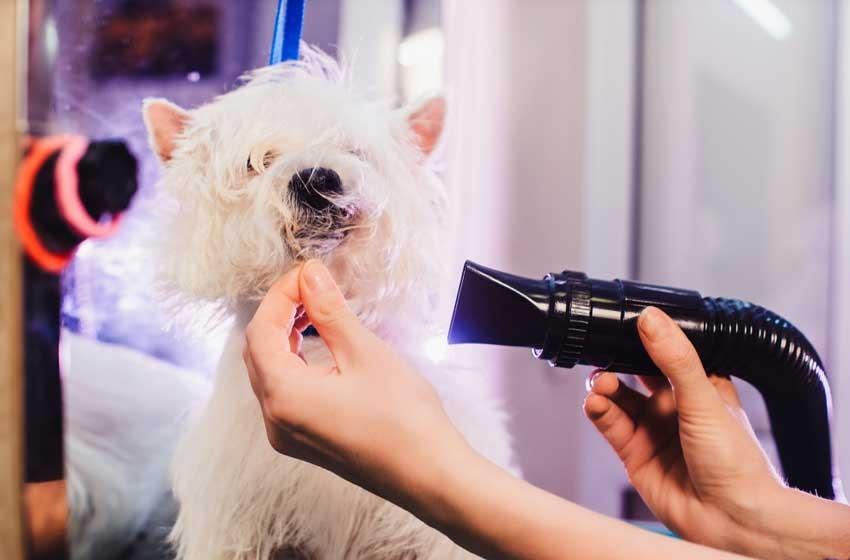 Dùng máy sấy làm khô lông chó