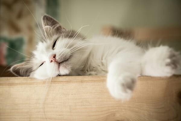 Mèo ngủ nhiều hơn là dấu hiệu mèo mang thai