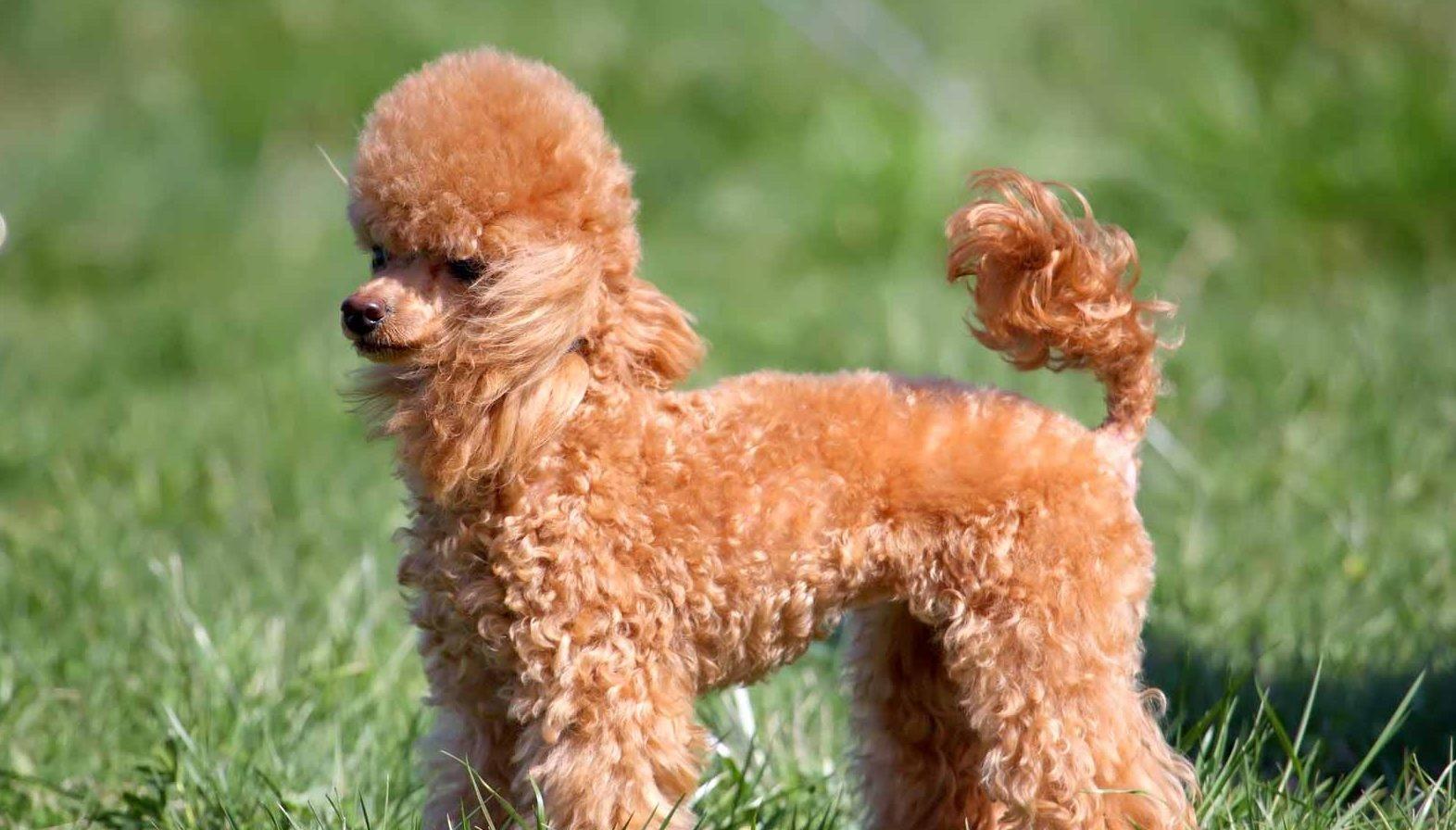 Miniatures Poodle