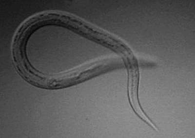 Bệnh giun móc ở chó mèo (Ancylostomatosis) - Ký sinh trùng cực kỳ nguy hiểm