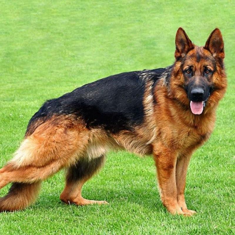 Becgie- Giống chó nghiệp vụ phổ biến nhất